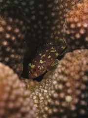 Yellow-spotted (MerMate) Tags: portrait macro canon underwater indianocean australia diving powershot fins corals scorpionfish g12 christmasisland wpdc34