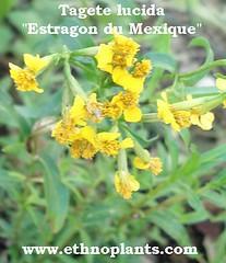 Tagete lucida (ethnoplants) Tags: plants plante mexico plantas du mexique mexicain lucida estragon tagete ethnobotanique chamanique enthéogene