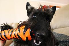 62 / 365 - Nom nom nom (Kelly Hunter) Tags: dog black puppy toy tiger fluffy whisky chew bone scottie squeak scottishterrier squeaky