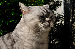 Kater Tobi 2011 (Kurt Gritzan) Tags: pet cats pets cute cat germany nikon kitten feline tabby kittens gatos whiskers nrw katze tobi gelsenkirchen katzen kater nordrheinwestfalen britishshorthair haustiere welpe edenplace welpen deutschlandgermany bkh britischkurzhaar d5000 rassekatzen bkhkatzen nikond5000 kurt65 katertobi silvertabbys kurtgritzan katertobicat longtomofedenplace
