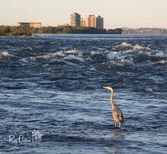 Setting your sights on a new week... (rosy outlook photography) Tags: heron river montreal ile lasalle aux greatblueheron herons birdsanctuary stlawrenceriver nunsisland champlainbridge migratorybirdsanctuary rosyoutlookphotography montréaljetaime myhoodd