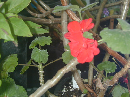 Pelargonium, red by Jane Young