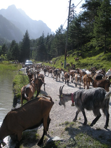 Goats stopping for water on the way home Mittenwald Germany