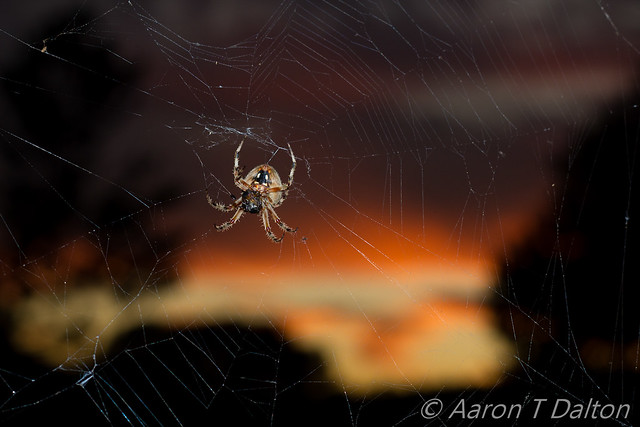 A Hairy Spider by Pumpkin Sunset