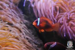 Clown fish-5
