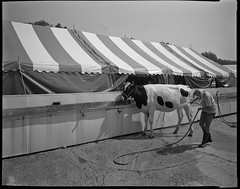One-A-Day, 8/31/11 First Day of the Fair (mat4226) Tags: show county ohio bw film girl oneaday daylight cow diy midwest nw angle northwest w wide n fair tent moo 8x10 wash co oh hp5 cowgirl hancock f56 4h showing findlay ilford fujinon washing largeformat zonesystem filmphotography eastmankodak sheetfilm 11100 210mm pyrocathd homeprocessed eastmancommercialb compensatingdeveloper dilutedeveloper believeinfilm