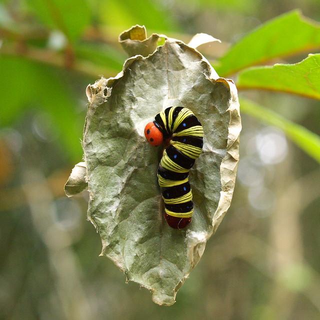 大綠挵蝶的終齡幼蟲