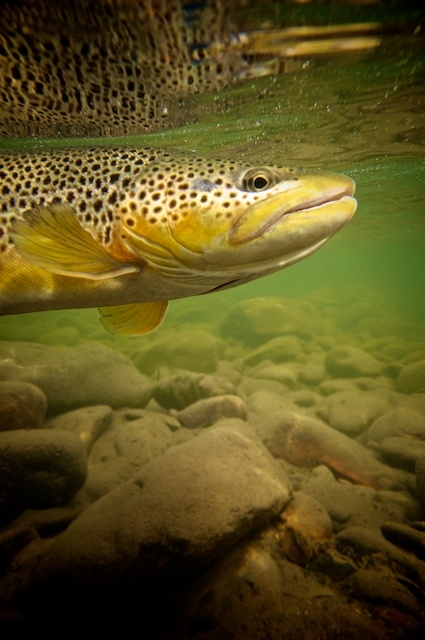 Fall Brown Trout 3