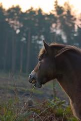 """good morning!"" (devonteg) Tags: dawn morninglight nikon mare september pines ferns exmoor 70300 2011 d80 haddonhill exmoorponies"
