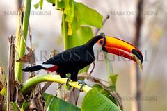 TUCANO (Marcos_Negrini) Tags: amarelo ave marcos cavalo tropa pantanal arara boi tucano psdb boiada gado peo negrini