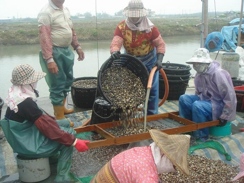 漁民用固定孔目的篩子將文蛤分級(蔡恭和提供)
