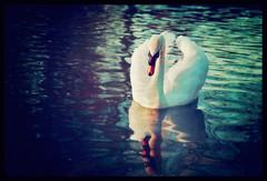 Swan (Elizabeth Hudson) Tags: river swan