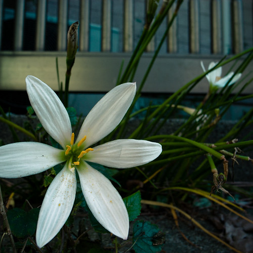 Mimomi Crocus Star Flower Gate