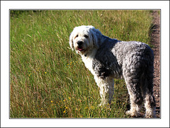 Come on Mum! (Audrey A Jackson) Tags: dog grass fur nose eyes path ears alfie oes oldenglishsheepdog canon450