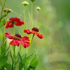 Helenium (vaskos66) Tags: flowers flower color colour macro nature beautiful spider dewdrops fantastic flora perfect colours pentax bokeh web spiderweb sigma dew lovely makro 70200 k7 helenium vaskos66
