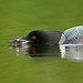 Common Loon - Stealth Mode