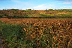 Zea mays (field) + Vitis vinifera subsp. vinif...