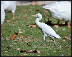 Garcilla Bueyera al paso (Juan M Casillas) Tags: madrid lake birds lago wildlife places pjaros f90 legans polvoranca garcillabueyera speed11250 focal5000mm35mm~7500mm lens5000mmf40 filenamedsc7694jpg