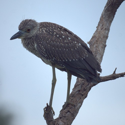 Yellow  Crowned Night Heron (Juvenile)