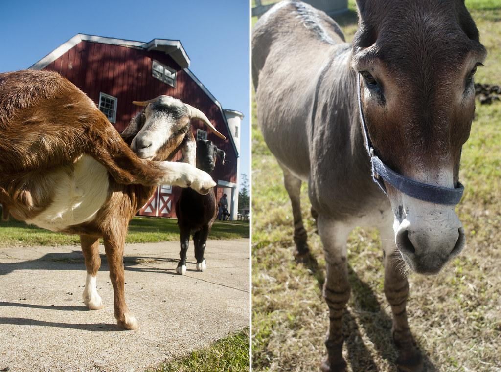 Goat&Donkey