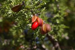 Guayacan Bean (Guajacum angustifolium) (J Centavo) Tags: bean seeds guayacan angustifolium guajacumangustifolium guajacum