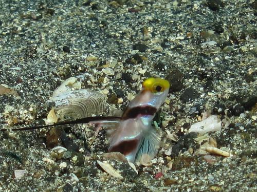 ヒレナガネジリンボウ (Black-rayed shrimp goby)