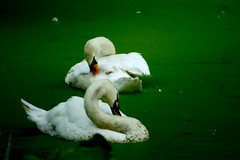 dirty down (t. s. Rohani) Tags: two favorite white green water photography cool interesting feathers down dirty spirits clean swans photograph checking rohani blemished tameh