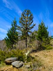 Pinos y pino (Bernardo Guzman Roa) Tags: nubes araucaria pino roca cordillera araucana pehuen piones nahuelbuta