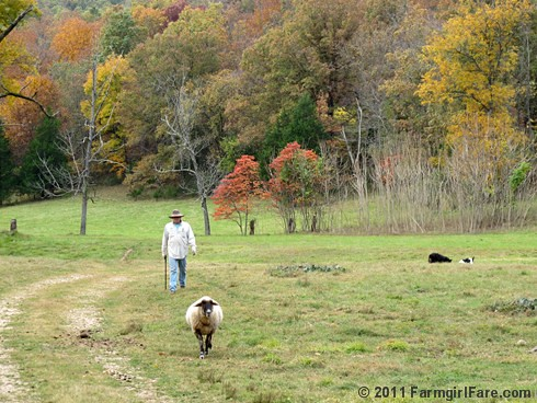 Bringing in the flock for sheep working Sunday 8 - FarmgirlFare.com
