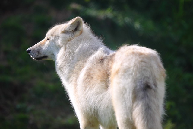 UK Wolf Conservation Trust 16-10-11