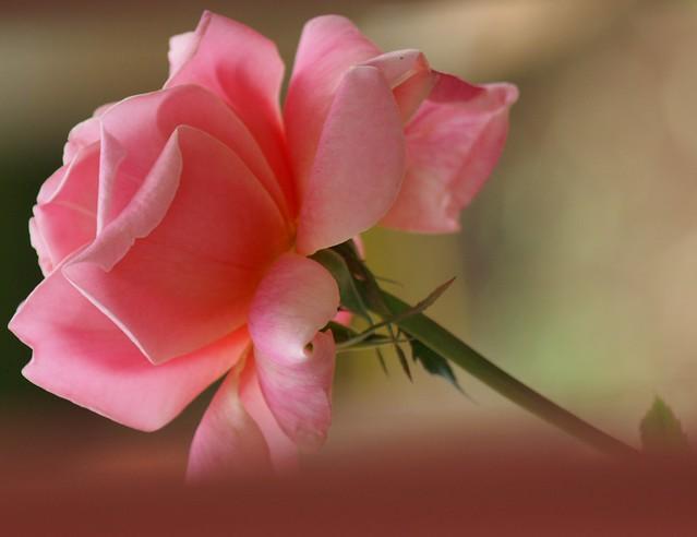 Rosa:uma beleza que excita