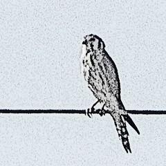 kestrel on a wire