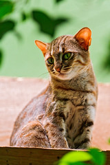 [Free Image] Animals, Mammalia, Cat, Rusty-spotted Cat, 201109132300