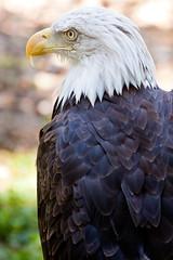 Bald Eagle (MrPhilDog) Tags: usa canon eos eagle bald mo canon70200f4l grantsfarm canonef70200mmf4lusm 40d canoneos40d camera:lens=canonef70200mmf4lusm