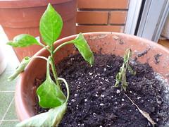 2 plantas de pimiento compitiendo en una maceta