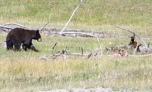 100_0882a-Yellowstone NP-Black Bear