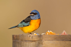 Blue-and-yellow Tanager at a Feeder (Paul B Jones) Tags: travel bird tourism southamerica birds canon tour birding bolivia aves birdwatching bolivien bolivie 800mm bonariensis thraupis blueandyellowtanager thraupisbonariensis