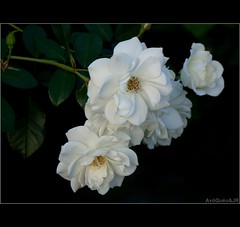 White Roses (AvQuu) Tags: art photo foto expression contemporary society simplybeautiful flowerscolors topshots kartpostal fantasticnature natureplus citrit excellentsflowers natureselegantshots explorewinnersoftheworld mimamorflowers your t awesomeblossoms panoramafotogrfico dontworrybehappy absolutelyperrrfect fugitivemoment fleursetpaysages theoriginalgoldseal flickrsportal virgilio~gf frommetoyouwithlove rosesforeveryone