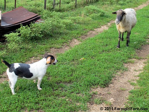 Beagle Bert and Big Chip 2 - FarmgirlFare.com