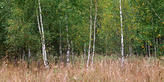 612_019+020 (A_V_P) Tags: summer panorama tree green film nature forest mediumformat russia velvia 50 612 rollfilm 6x12 toyo45