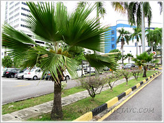 Pritchardia pacifica (Fiji Fan Palm), lining the roadside approaching Hospital Pantai Ampang, KL - Sept 20 2011