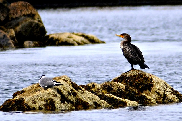 cormorant 2011