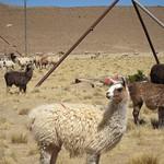"Llamas <a style=""margin-left:10px; font-size:0.8em;"" href=""http://www.flickr.com/photos/14315427@N00/6170807958/"" target=""_blank"">@flickr</a>"