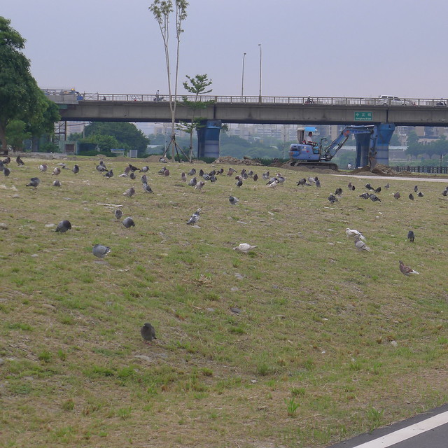 一堆鴿子-中永和區河濱自行車道