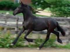 Beautiful Friesain Filly (Poetry in Motion Farm) Tags: horses horse black animal animals mare driving tags breeding friesian dressage allaround englishpleasure friesain fpzv equinenow:user=40573 geo:lat=395147682 geo:lon=867938968