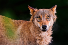 Pretty but special wolf (Tambako the Jaguar) Tags: portrait dog brown strange face zoo switzerland nikon wolf looking canine special zrich surprising mongolian canid d700
