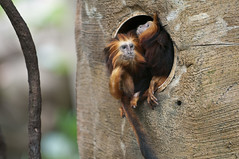 Monkeying Around (dbarronoss) Tags: leontopithecuschrysomelas goldenheadedliontamarin