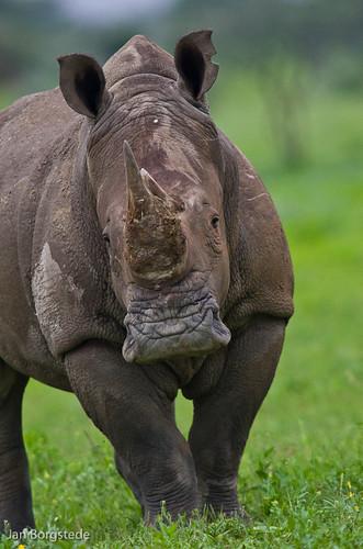 White Rhino by jan-borgstede