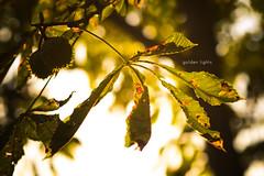 golden lights (Tafelzwerk) Tags: autumn sun tree berlin green gold lights golden nikon herbst grün sonne baum lichter hellersdorf nikkor85mm nikkor85mmf18 d7000 nikond7000 tafelzwerk tafelzwerkde
