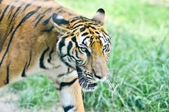 MIGHT (A. adnan) Tags: wild portrait closeup eyes eyecontact wildlife tiger 85mm whiskers safari nikon85mmf18d d7000